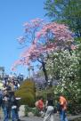 Cherry Blossom Festival, Brooklyn Botanical Gardens